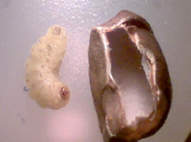 Jumping Bean larvae out of shell