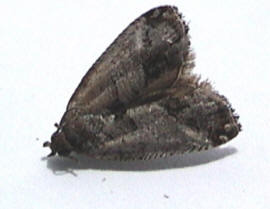 Jumping Bean moth
